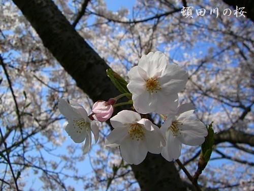 やっぱり桜はいいですね♪