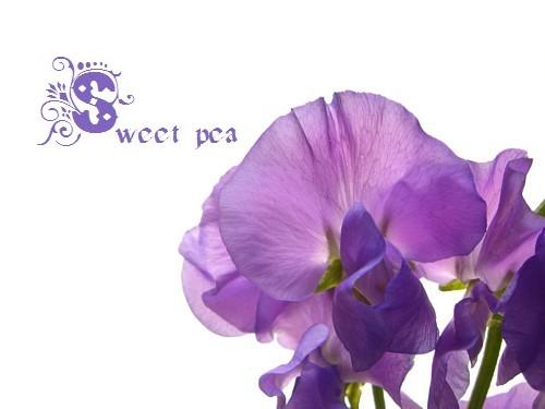 紫色のスイトピー