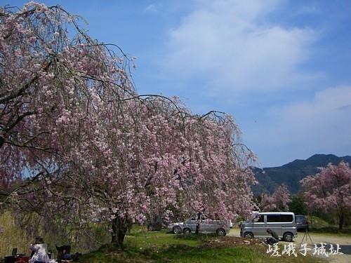 嵯峨子城址の桜