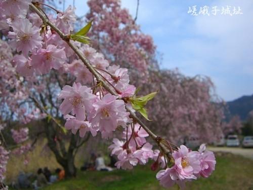 たくさんのしだれ桜