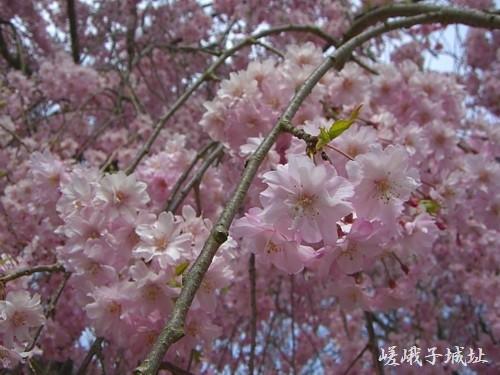 桜のシャワーが気持ちいい♪