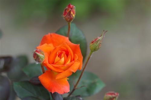 薔薇ばっかりで申し訳ない1