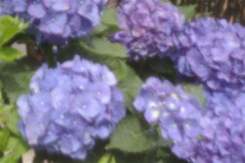 まずは紫陽花から・・・
