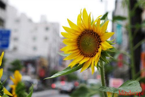 雨に咲く向日葵
