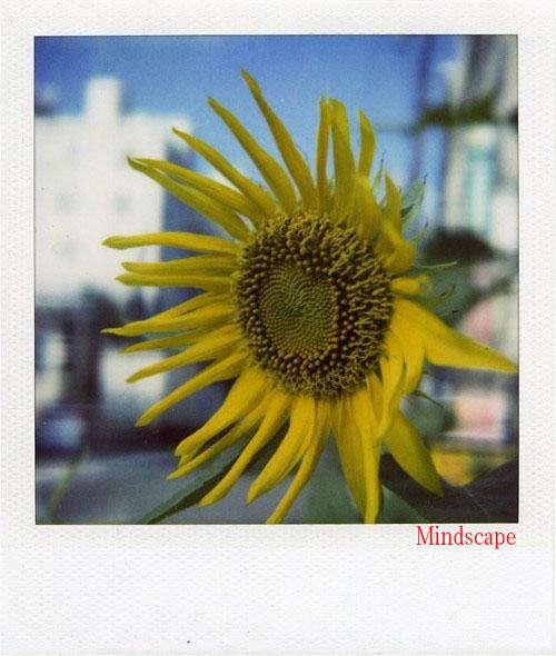 またまた向日葵1