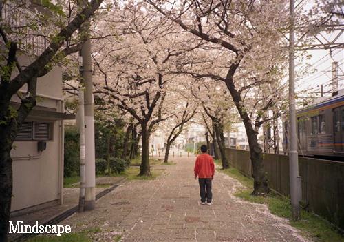 桜をゆく1