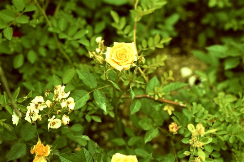 薔薇(クロスプロセス)