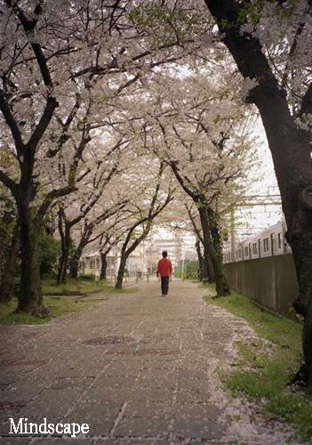 桜をゆく3