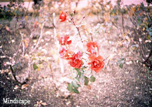 アナタに薔薇を・・・