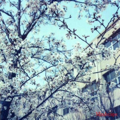 最後の桜2