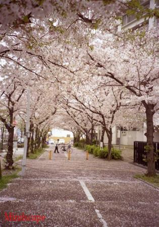 桜花の下で