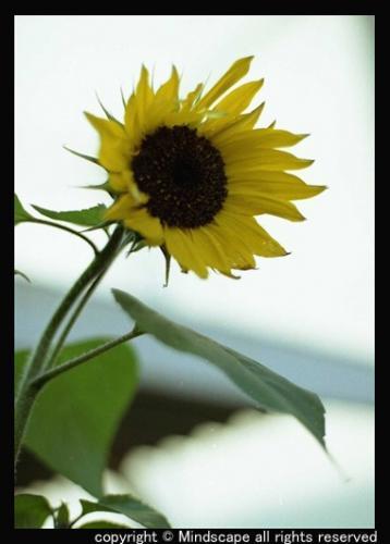 冬の向日葵