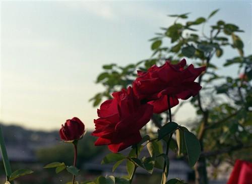 夕日に染まる薔薇