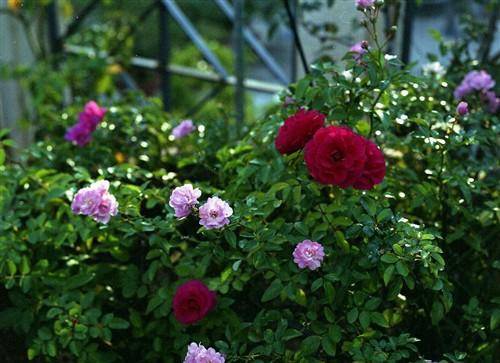 もヒトツ薔薇