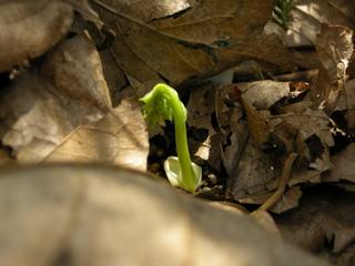 サラシナショウマの芽吹き