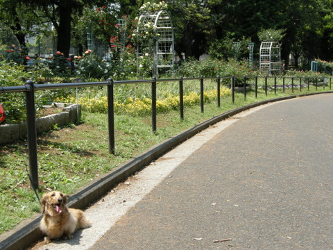 公園のバラ園2