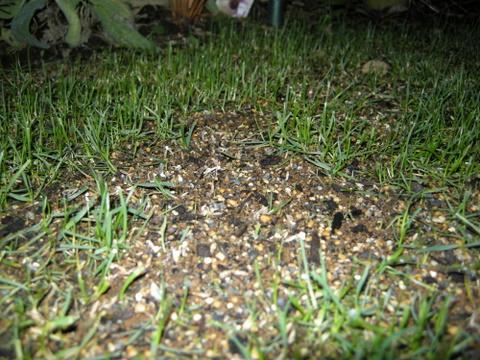 西洋芝の発芽