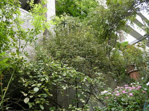 階段の上のつるバラ 2009/10/5