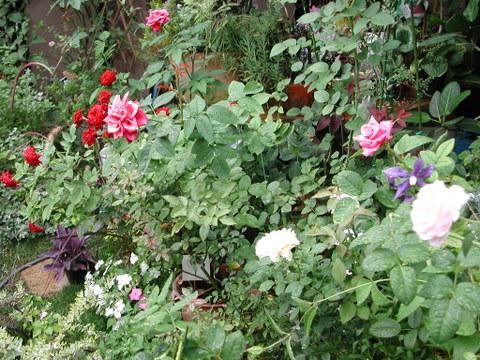 庭のバラ 2009/8/30