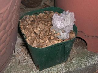 クリスマスローズの種の貯蔵