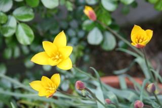 原種チューリップ「クリサンサ」