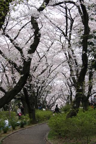 公園の桜4