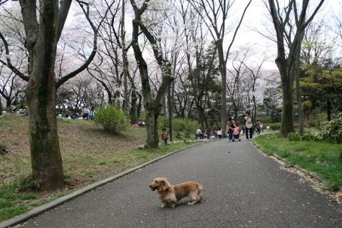 公園の桜5