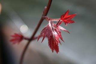 モミジ「笠置山」の芽吹き