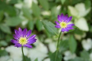 ミヤコワスレ「みのる紫」