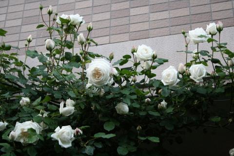 新雪 2009/5/2