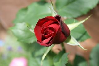 赤バラ(品種不明)