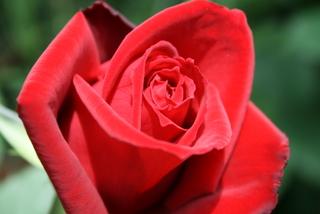 赤バラ不明品種