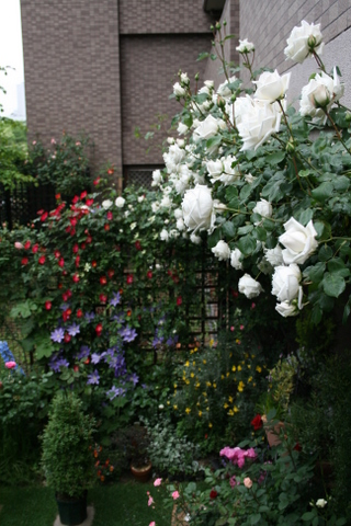 新雪とバラ花壇