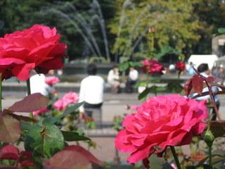 日比谷公園のバラ花壇