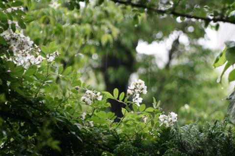 雨の中のノイバラ