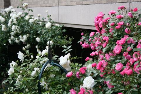 つるバラ3種