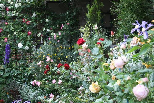 テラス前の鉢バラたち