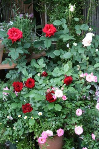 赤いバラの一角
