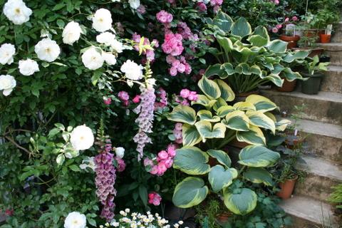 階段のバラとギボウシ2