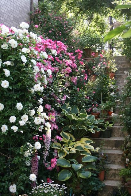 階段のバラとギボウシ1