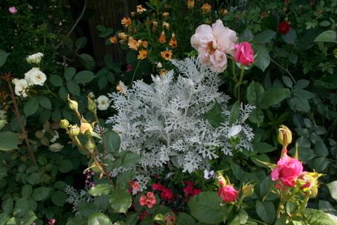 バラ鉢に囲まれたシルバーリーフ