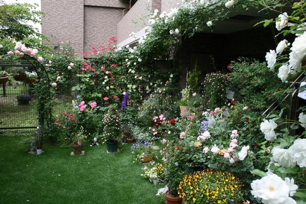 バラ満開の庭1