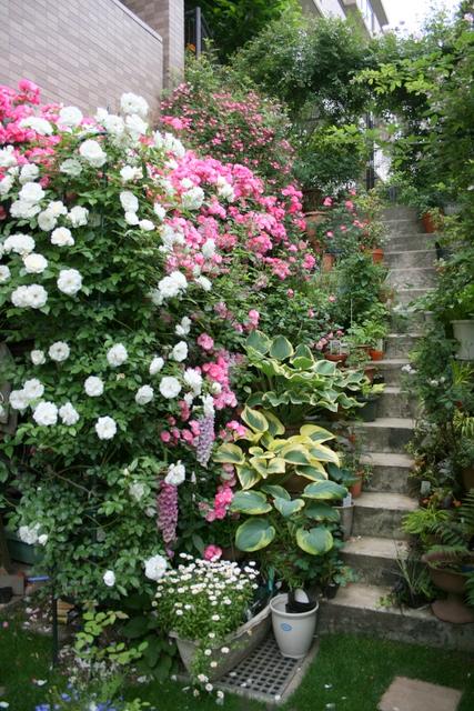 バラ満開の庭4
