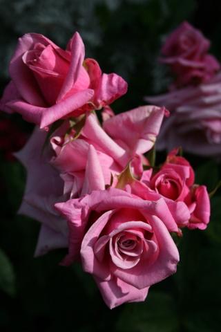 切花からの再生品種その2