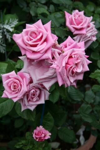 不明品種のバラ