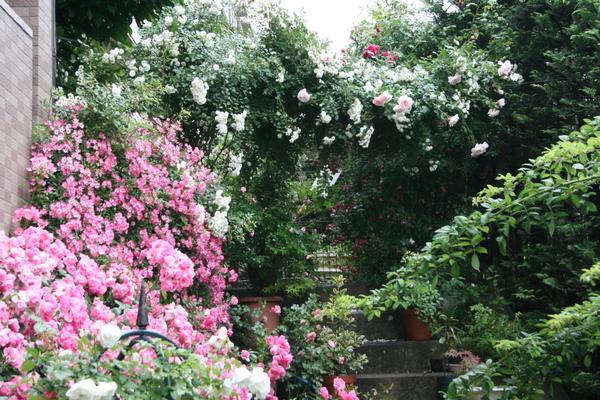 階段の上のつるバラ1