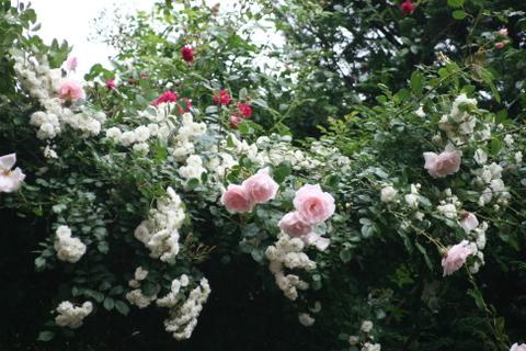 階段の上のつるバラ4