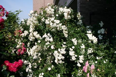 階段の上のバラ