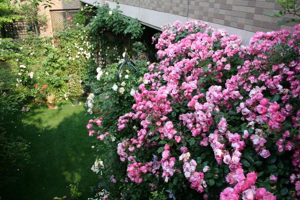 階段から見下ろしたバラ庭