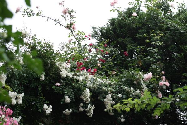 階段の頭上のバラ